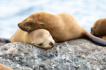 California sea lion pups, sleeping, Monterey Bay harbor, California. ©2019 Kathy West Studios