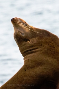 California Sea Lion, male (Zalophus californianus), Monterey Bay, California. ©Kathy West Studios