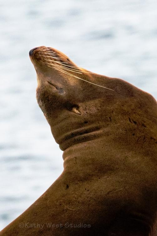 California Sea Lion, male (Zalophus californianus), Monterey Bay, California. ©Kathy West Studios