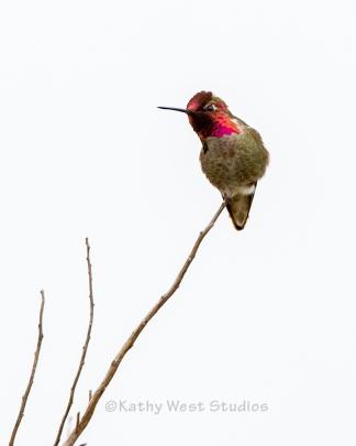 Anna's Hummingbird, California coast