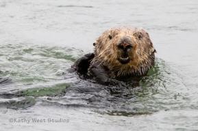 Southern Sea Otter (Enhydra lutris nereis) Elkhorn Slough, California. ©Kathy West Studios
