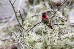 Anna's Hummingbird, California coast, KathyWestStudios_©2019