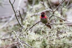 Anna's Hummingbird, Monterey California
