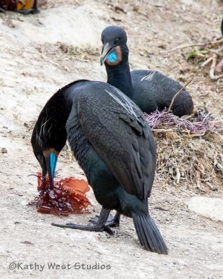 Brandt's cormorant male delivering gift of kelp to female