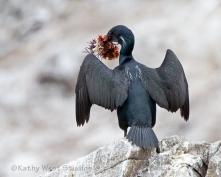 Brandt's Cormorant delivering kelp gift. Point Lobos State Natural Reserve, California. KathyWestStudios_©2019