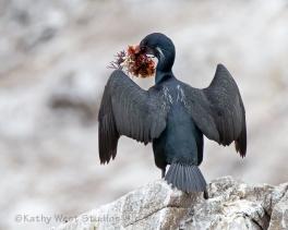 Brandt's Cormorant delivering kelp gift
