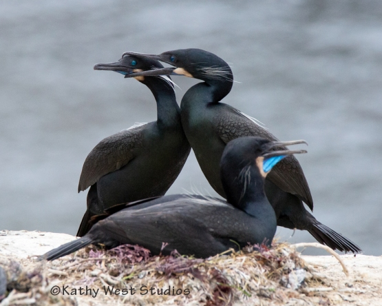 Brandt's cormorant male and female in courting diplay