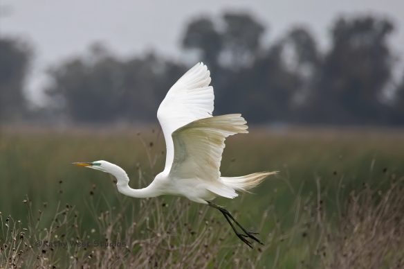 Great Egret (Ardea alba), Yolo Bypass Wildlife Area, California. ©KathyWestStudios