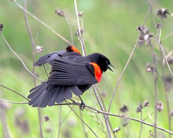 KathyWest_RedwingBlackbird