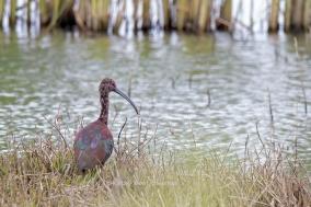 White-faced ibis (Plegadis chihi). Yolo Bypass Wildlife Area, California. ©2020KathyWestStudios