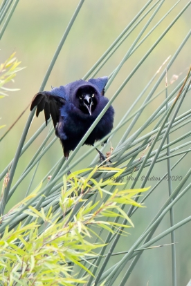 Brewer's Blackbird, Yolo Bypass Wildlife Area, California. ©KathyWestStudios