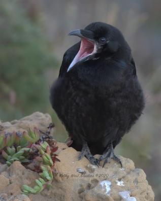 Young raven on Mendocino coast, California