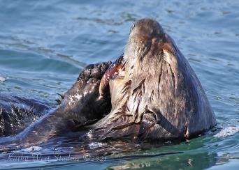 Southern Sea Otter (Enhydra lutris)(IUCN: Endangered) ©Kathy West Studios ©2021